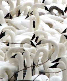 The amazing resurgence of trumpeter swans in Minnesota: http://www.midwestliving.com/blog/travel/return-of-the-trumpeter-swans/