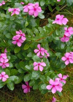 Madagascar Periwinkle - Catharanthus roseus  ALSO Vinca Pacifica XP Raspberry  Handy info about growing from seed (keep temp constant {warm} and in dark until it sprouts!)