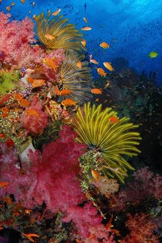 Makogai Crinoids and soft corals at Gomo Reef - Makogai, Fiji Colorful Fish, Tropical Fish, Beautiful Sea Creatures, Underwater City, Freshwater Aquarium, Aquarium Fish, Life Under The Sea, Beneath The Sea, Ocean Pictures