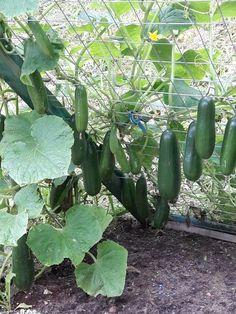 Gurkengitter # Gurken edible garden – My CMS Backyard Vegetable Gardens, Veg Garden, Vegetable Garden Design, Garden Trellis, Edible Garden, Outdoor Gardens, Garden Types, Gardening Vegetables, Balcony Gardening