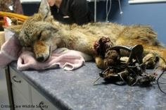 This coyote  was caught in a leg hold trap. The trap still had the cable attached to it. After getting caught (some time ago as he was emaciated), the young male coyote was able to struggle enough to unstake the trap. With his leg still in the trap, he dragged the trap until the trap snagged in some bushes.  These traps are LEGAL in British Columbia. The coyote had even tried to chew off his own leg. We can not imagine the suffering he must have gone through…