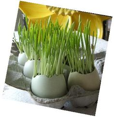Growing grass in eggs