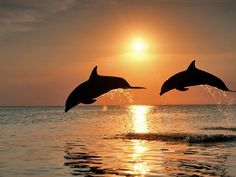 Jumping dauphins just off the shore in Gulf Shores AL.