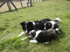chiots BORDERS COLLIES