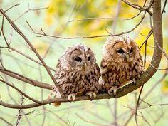 fledgings #owl
