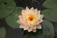 Nymphae Barbara Dobbins Changeable Hardy Water Lily - compact Flower is a mixture of pink, yellow, and apricot.  6-8' spread, leaves are 4 to 8 inches in diameter. It's not variegated which means it requires more sunlight. Blooms as early as May, and ends in October.  This lily is very hardy.