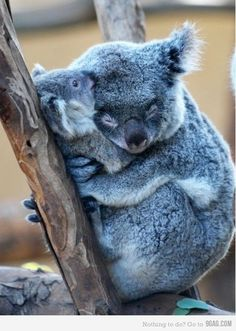 "The ""Mom you're squeezing too hard, I can't breathe!"" hug - koala style"