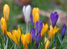 Image result for images spring crocus