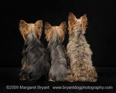 Types of coats--my both my Yorkie's had/have the middle one.