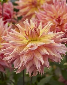 Decorative Dahlias - Dahlia Tubers - Spring Planting - Bulbs, plants and more