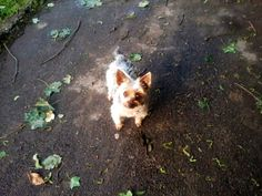 Yorkshire-Terrier Angie Nie den Lebensmut verlieren. Ich bin blind, aber glücklich. ★ Hundename: Angie / Rasse: Yorkshire-Terrier      Mehr Fotos: https://magazin.dogs-2-love.com/foto/yorkshire-terrier-angie/ Foto, Hund