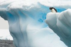 """As this Gentoo penguin peeked over the edge of an iceberg shelf high above the frigid water below, there was a moment when penguin and human were thinking the same thing. I was saying to myself: """"jump, jump!"""" while he was probably thinking to himself: """"should I jump?""""  He decided not to jump and quickly waddled away."""