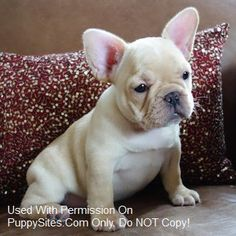 44769fa751e45 Poetic French Bulldogs White French Bulldog Puppies