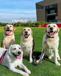 White Labrador, Labrador Retrievers, Lab Puppies, Black Labs, Labradors, Happy Dogs, Dog Life, 5 Years, Puppy Love