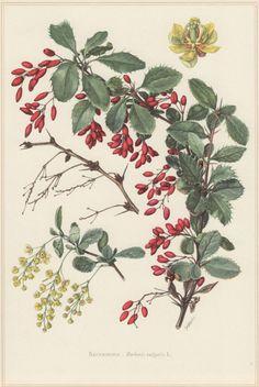 1960 Vintage Botanical Print Berberis vulgaris by Craftissimo
