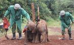 El orfanato de bebés elefante de Kenia, una esperanza en la lucha contra el tráfico de marfil