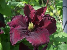 Clematis 'Niobe'. Deciduous climber growing up to 3m.  An early large-flowered clematis (up to 15cm) from June-August.