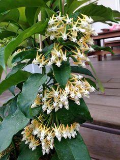 Hoya multiflora (porslinsblomma). Har ett upprätt och buskigt växtsätt. Förgrenar sig inte så enkelt av sig själv, så toppning behövs. Tunna mörka löv med lite fläckar. Lättodlad. Behöver mycket vatten jämfört med andra hoyor. Blommar ofta och mycket med vita blommor med gulvit mitt. Mycket nektar. Pedunklarna ramlar oftast av efteråt men kan blomma om i samma igen. Svag citrondoft.