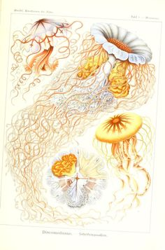 Kunstformen der Natur, 1899, Ernst Haeckel. Illustrations of the zoomorphic patterns and arabesques of marine life forms.