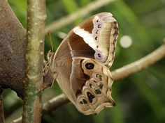 Ventral view of a female Bamboo Treebrown(Lethe europa pavida) photographed by YoyoFreelance in Taiwan on 14th Decembe 2015