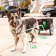 My coworker has a weak back and a wonderful connection with her dog, so she built a dog cart for her dog to safely port heavy items she can't carry. It's super cute and the dog loves helping.