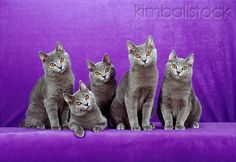 CAT 02 CH0110 01 - Five Chartreux Blue Cats Sitting In Purple Studio - Kimballstock