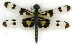 DRAGONFLY - Genus Celithemis - Celithemis fasciata - 'Banded Pennant'