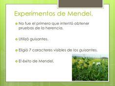Experimentos de Mendel. No fue el primero que intentó obtener  pruebas de la herencia. Utilizó   guisantes. Eligió    7...