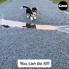 Brave Corgi Puppy Conquers Fear Of Puddle - Funny Animals Cute Little Animals, Cute Funny Animals, Funny Dogs, Cute Puppies, Cute Dogs, Dogs And Puppies, Cute Animal Videos, Funny Animal Pictures, Gato Gif