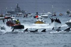 """Sea Shepherd to Deploy Drones to Stop Massive Whale Slaughter - """"The annual hunts are known as """"grinds."""" As part of """"Operation GrindStop 2014,"""" a land-based campaign, Sea Shepherd USA will deploy drones and livestream video to hinder the slaughter. Other Sea Shepherd organizations will launch simultaneous water-based campaigns."""""""