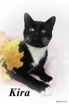 Kira, Cat • Domestic Short Hair-black and white Mix • Adult • Female • Medium Emporia Kansas Animal Shelter Emporia, KS