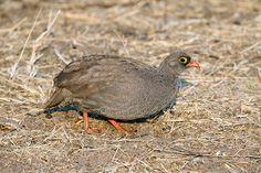 Red-billed Spurfowl Pternistis adspersus - Google Search