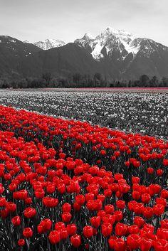 Agassiz Tulip Festival ( Seabird Island, BC Canada )