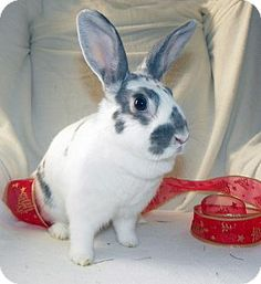 Dolly is looking for a forever home!  She is a sweet and gentle girl!!  Dolly is in foster care with New Moon Rabbit Rescue in Ottawa Ontario Canada and is hoping to find her family soon!  www.newmoonrabbitrescue.ca