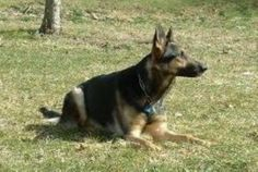 http://www.examiner.com/article/what-should-your-german-shepherd-dog-weigh    Unfortunately many dog owners simply do not know what the correct weight looks like on a dog or what their dog should actually weigh.