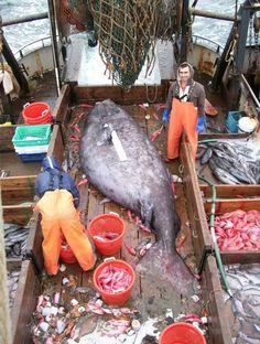 huge-sea-fish