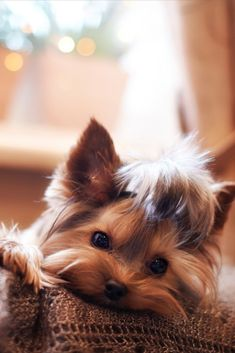 "Excellent ""yorkshire terrier pups"" detail is offered on our web pages. Read more and you will not be sorry you did. Yorshire Terrier, Silky Terrier, Perros Yorkshire Terrier, Cute Puppies, Cute Dogs, Yorky, Teacup Yorkie, Yorkie Puppy, Puppy Food"