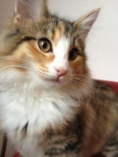 Isis av Valdres - norwegian forest cat