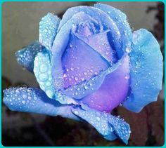 Rare Blue Roses | rare blue rose....reminded me of my Holy Mary Candle | i love that