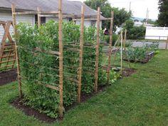 Sugar snap peas growing on the pea fences.