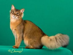 """The Somali is a breathtakingly beautiful cat, with a vibrantly colorful coat, full plume tail, and alert personality. The combination of ticked, dramatically colored fur, striking facial markings, large ears, dark hocks, and full bushy tail and britches gives the Somali a wild """"little fox"""" look which immediately captivates."""