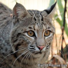 Ariel Bobcat is becoming less shy as the weeks go by.