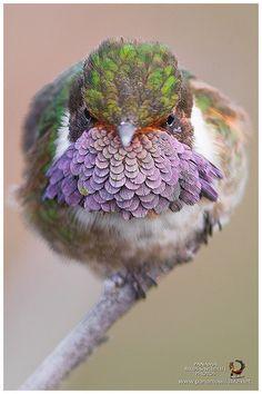 Volcano Hummingbird / Estrella Volcanera - ♂ | (Selasphorus … | Flickr