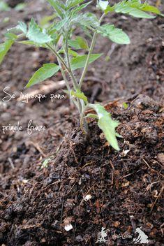 Plantarea rasadurilor de rosii - sfaturi - magazinul de acasă Vertical Farming, Tomato Plants, Solar, Avocado, Herbs, Gardening, Cottages, Tips, Beauty