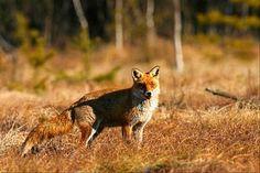 De herfst - vos - Foto's , Afbeeldingen