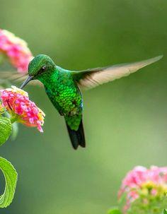 Garden Emerald (Chlorostilbon assimilis). A small hummingbird endemic to Costa Rica and Panama. photo: Daniel Hernandez.