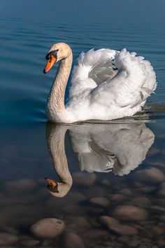 Wonderful Swan reflection by Jesus Giraldo - from blog Nature's Paintbox