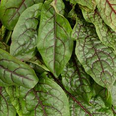 Bloody Sorrel | Plant Capsule for Smart Garden | Plantui Sorrel Plant, Sorrel Soup, Big Leaves, Green Leaves, Plant Leaves, Oxalic Acid, Classic French Dishes, Smart Garden, Spring Green