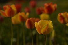 Tulip 'Beauty of Apeldoorn'