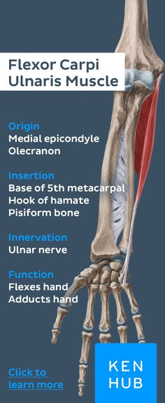 The flexor carpi ulnaris #muscle arises from the medial epicondyle of the humerus (humeral head) and the olecranon of the ulna (ulnar head). Pin our muscle facts and master the human #anatomy